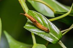 Common Map caterpillar Royalty Free Stock Photo