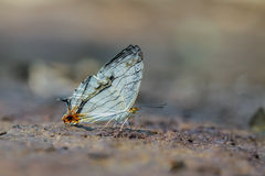 The Common Map Cyrestis thyodamas thyodamas. Beautiful the common map butterfly on nature background with shallow depth of field. (The Common Map Cyrestis Stock Photography