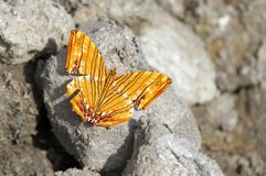 Common Maplet butterfly on the rock Royalty Free Stock Images