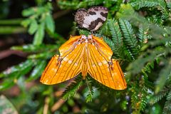 Common Maplet Chersonesia risa butterfly royalty free stock photography