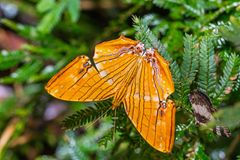Common Maplet Chersonesia risa butterfly stock photo