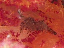 Common Marble Shrimp Royalty Free Stock Photos