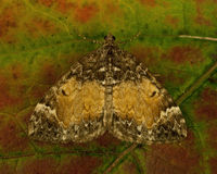 The Common Marbled Carpet, Chloroclysta truncata Stock Images