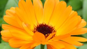 Common marigold, Calendual offcicinalis stock video footage