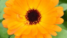 Common marigold, medicinal plant with flower stock video footage