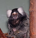 Common Marmoset Stock Image