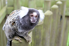 Common marmoset. Sitting on a fence Royalty Free Stock Photography