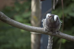 Common Marmoset Stock Photography