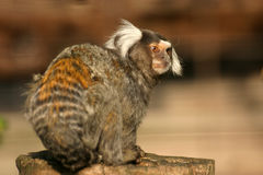 Common marmoset Stock Photo