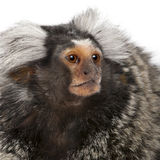 Common Marmoset, Callithrix jacchus. 2 years old, in front of white background Royalty Free Stock Photos