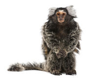 Common Marmoset, Callithrix jacchus. 2 years old, sitting in front of white background Royalty Free Stock Photo