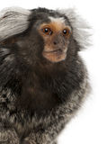 Common Marmoset, Callithrix jacchus. 2 years old, in front of white background Royalty Free Stock Images