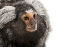 Common Marmoset, Callithrix jacchus. 2 years old, in front of white background Royalty Free Stock Photography