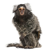 Common Marmoset, Callithrix jacchus. 2 years old, sitting in front of white background Royalty Free Stock Photography