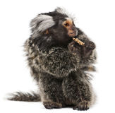 Common Marmoset, Callithrix jacchus. 2 years old, eating worm in front of white background Stock Photography