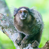 Common marmoset - Callithrix jacchus. Common marmoset or White-eared marmoset (Callithrix jacchus); New World monkey Royalty Free Stock Photography