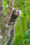 Common marmoset - Callithrix jacchus. Common marmoset or White-eared marmoset (Callithrix jacchus); New World monkey Royalty Free Stock Images
