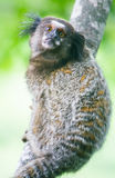 Common marmoset - Callithrix jacchus. Common marmoset or White-eared marmoset (Callithrix jacchus); New World monkey Stock Photography