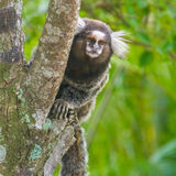 Common marmoset - Callithrix jacchus. Common marmoset or White-eared marmoset (Callithrix jacchus); New World monkey Stock Images