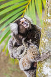 Common marmoset - Callithrix jacchus. Common marmoset or White-eared marmoset (Callithrix jacchus); New World monkey Royalty Free Stock Image