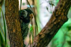 Common marmoset or Callithrix jacchus. Is a New World small monkey Stock Photos