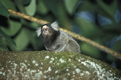 Common marmoset. Stock Image