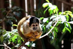 Common Marmoset (Callithrix jacchus jacchus). Sitting on a Branch at World of Birds Stock Images