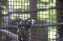 Common Marmoset Callithrix jacchus Monkey. Common marmoset monkey hanging on cage wire Stock Photo