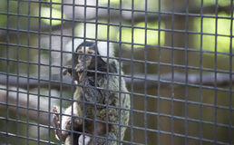 Common Marmoset Callithrix jacchus Monkey. Common marmoset monkey hanging on cage wire Stock Photos