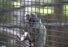 Common Marmoset Callithrix jacchus Monkey. Common marmoset monkey hanging on cage wire Royalty Free Stock Photography