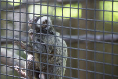 Common Marmoset Callithrix jacchus Monkey. Common marmoset monkey hanging on cage wire Stock Image