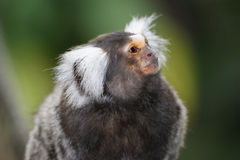 Common marmoset. A common marmoset (Callithrix jacchus) in Randers Regnskov, Denmark Royalty Free Stock Images