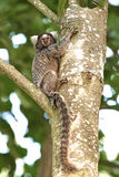 Common marmoset (Callithrix jacchus) Stock Photo