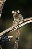 Common marmoset, Callithrix jacchus. Single mammal on branch, Brazil Royalty Free Stock Photography