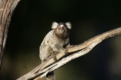 Common marmoset, Callithrix jacchus. Single mammal on branch, Brazil Stock Image