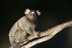 Common marmoset, Callithrix jacchus Stock Image