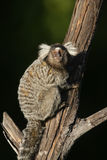 Common marmoset, Callithrix jacchus. Single mammal on branch, Brazil Royalty Free Stock Photos