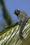 Common marmoset, Callithrix jacchus. Single mammal on branch, Brazil Stock Photography