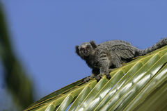 Common marmoset, Callithrix jacchus. Single mammal on branch, Brazil Royalty Free Stock Photo