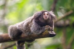 Common Marmoset Callithrix jacchus. Sitting in a tree, Singapore Zoo Stock Image