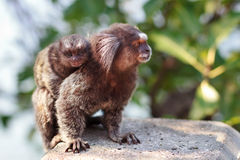 The common marmoset (Callithrix jacchus) White-eared female monk Royalty Free Stock Photos