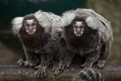 Common marmoset Callithrix jacchus. Wildlife animal Stock Images