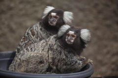 Common marmoset Callithrix jacchus. Wildlife animal Royalty Free Stock Photography