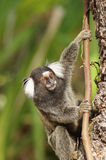 Common marmoset - callithrix pygmy Royalty Free Stock Photography