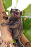 Common marmoset - callithrix pygmy royalty free stock photo