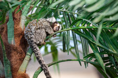 Common marmoset or Callithrix sitting on a branch. Common marmoset or Callithrix sitting on a green branch Royalty Free Stock Photography