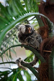 Common marmoset or Callithrix sitting on a branch. Common marmoset or Callithrix sitting on a green branch Royalty Free Stock Photos