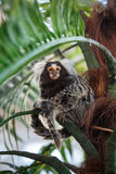 Common marmoset or Callithrix sitting on a branch. Common marmoset or Callithrix sitting on a green branch Royalty Free Stock Images