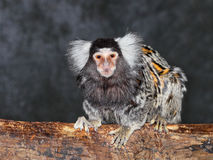 Common marmoset Royalty Free Stock Photo
