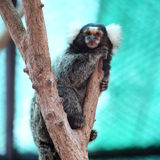 Common Marmoset Royalty Free Stock Image